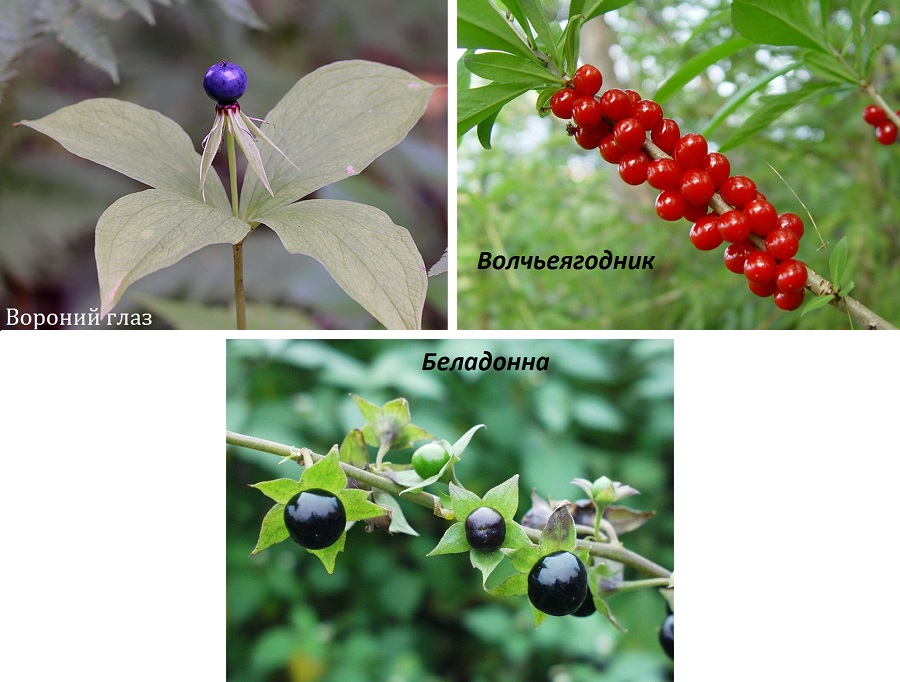 Ядовитые растения подмосковья фото и описание